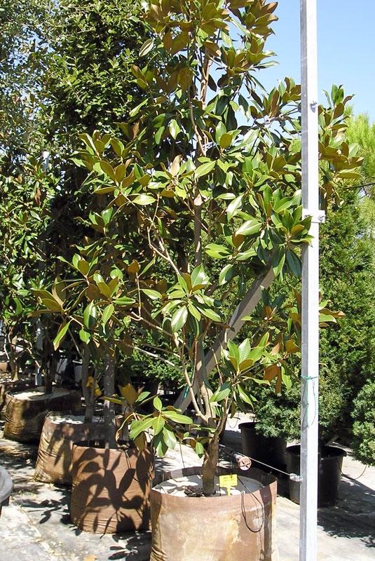 Viveros la pe uela for Vivero las magnolias