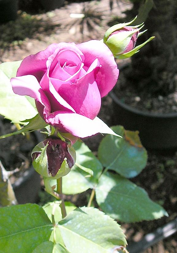 Viveros la pe uela for Viveros el rosal